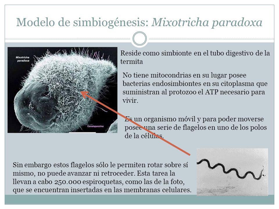 Modelo de simbiogénesis: Mixotricha paradoxa