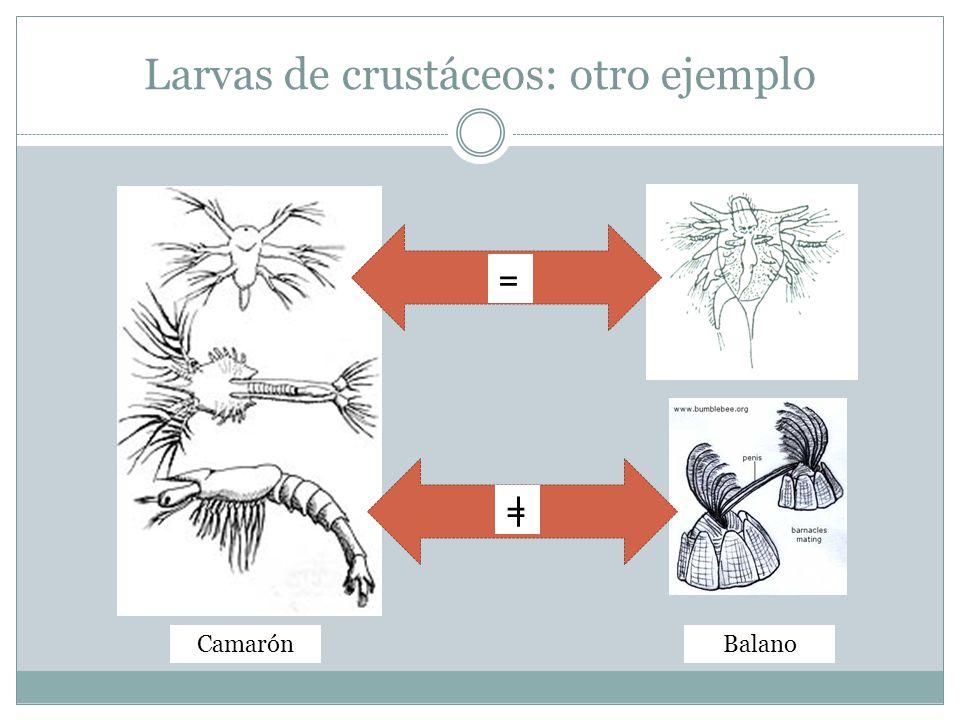 Larvas de crustáceos: otro ejemplo