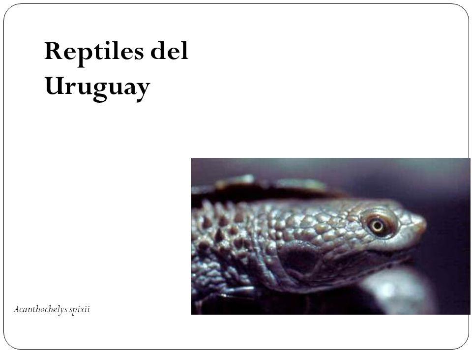 Reptiles del Uruguay Acanthochelys spixii