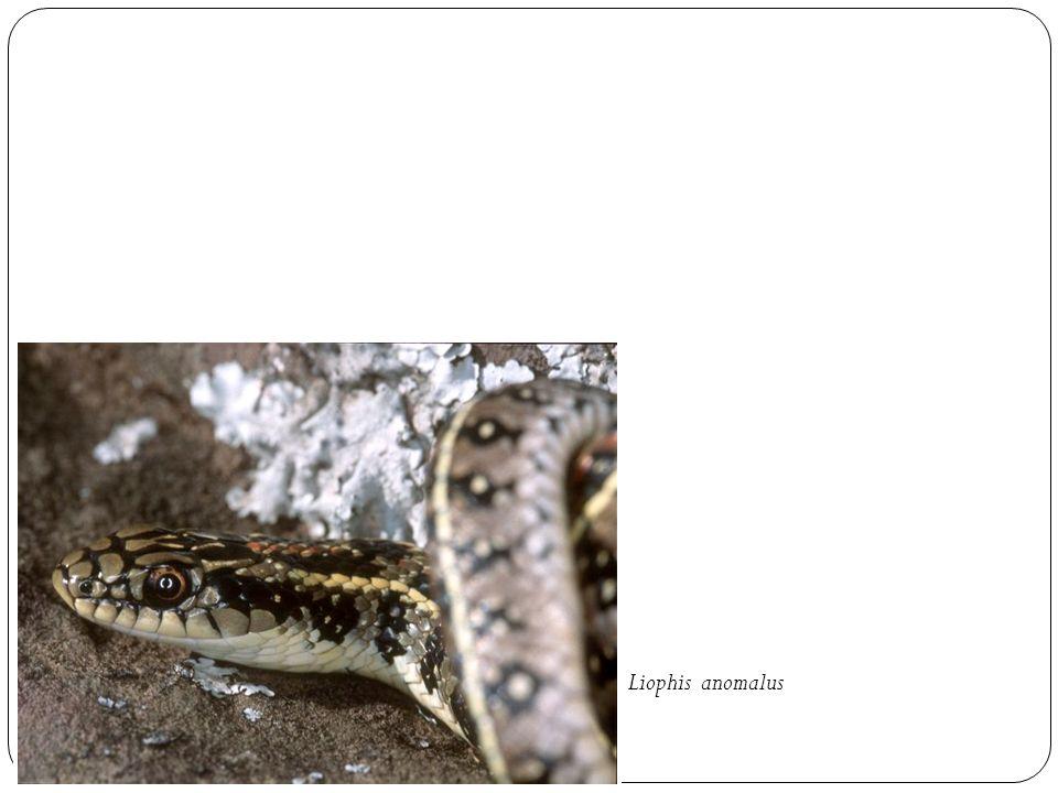Liophis anomalus
