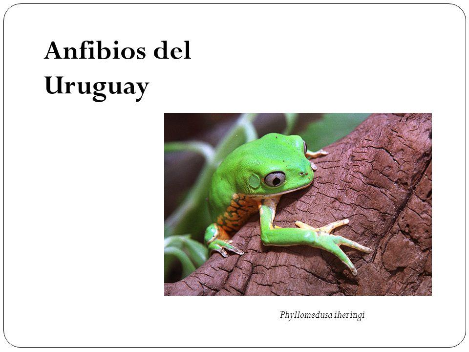 Anfibios del Uruguay Phyllomedusa iheringi