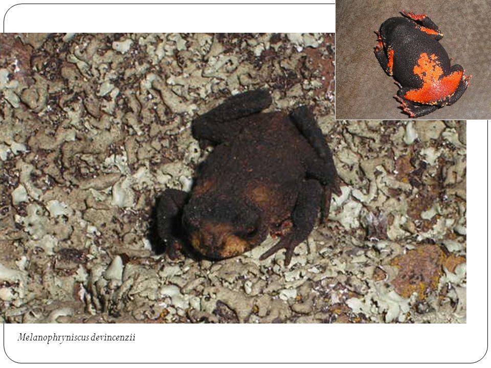 Melanophryniscus devincenzii