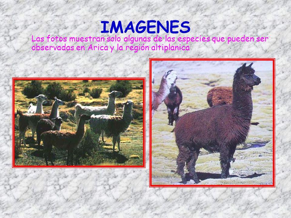 IMAGENES Las fotos muestran solo algunas de las especies que pueden ser observadas en Arica y la región altiplanica.