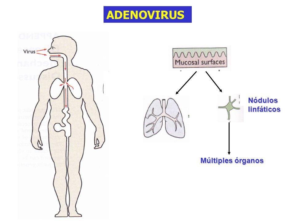 ADENOVIRUS Nódulos linfáticos Múltiples órganos