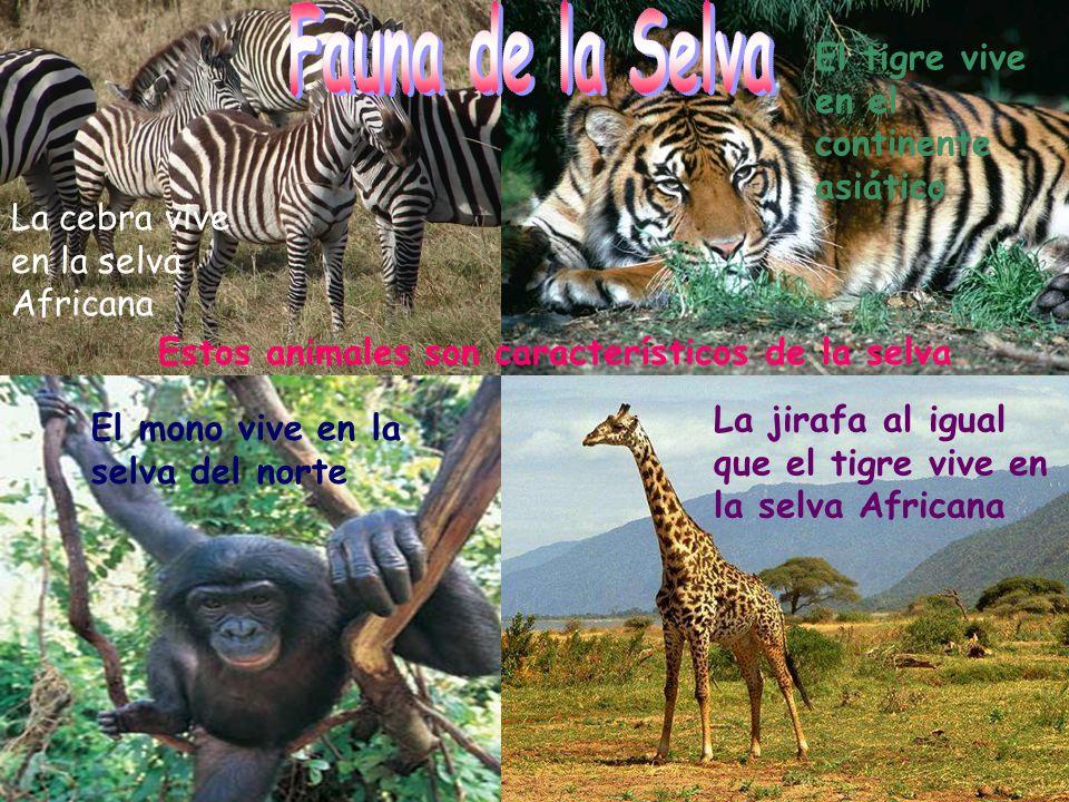 Fauna de la Selva El tigre vive en el continente asiático