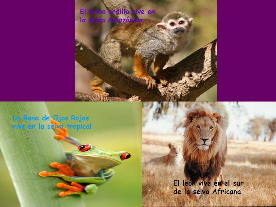 El mono ardilla vive en la selva Amazónica