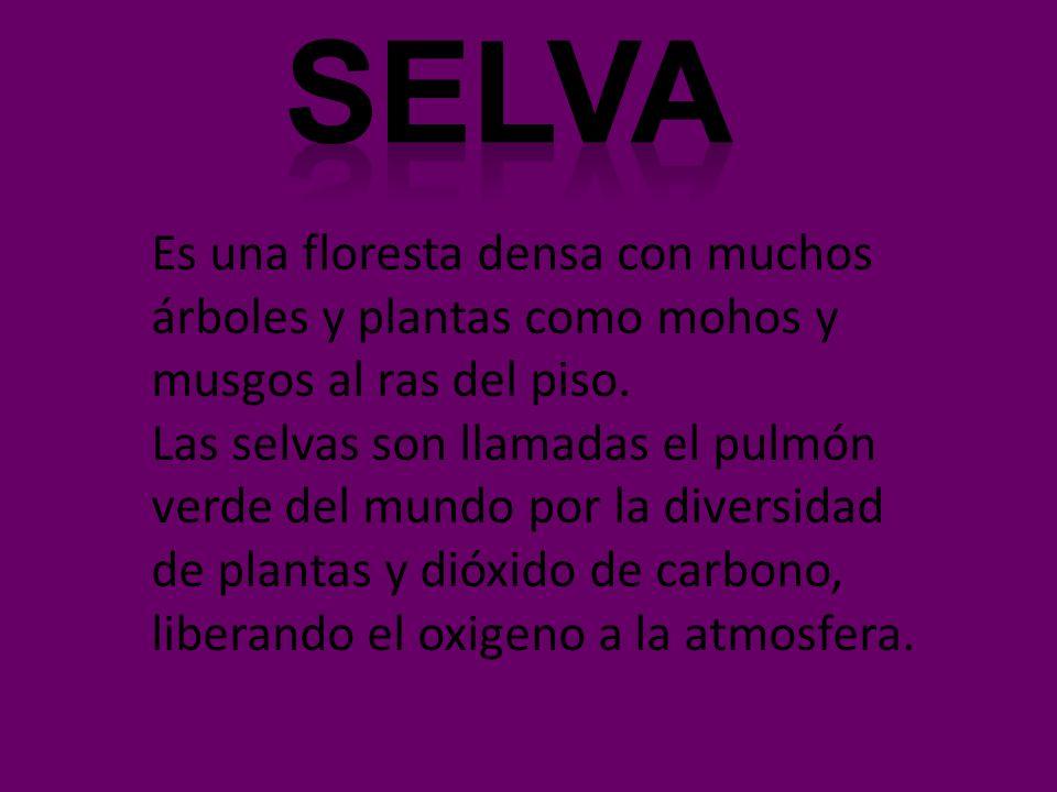 Selva Es una floresta densa con muchos árboles y plantas como mohos y musgos al ras del piso.