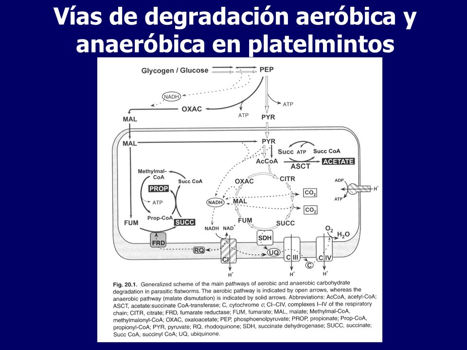 Vías de degradación aeróbica y anaeróbica en platelmintos