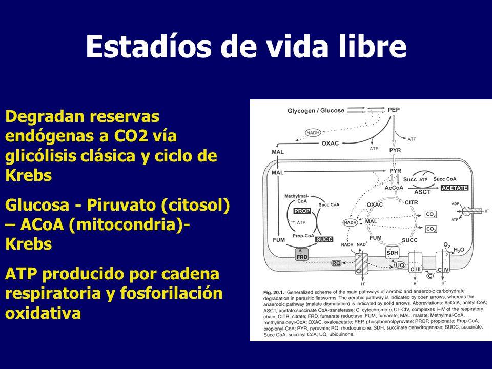 Estadíos de vida libre Degradan reservas endógenas a CO2 vía glicólisis clásica y ciclo de Krebs.