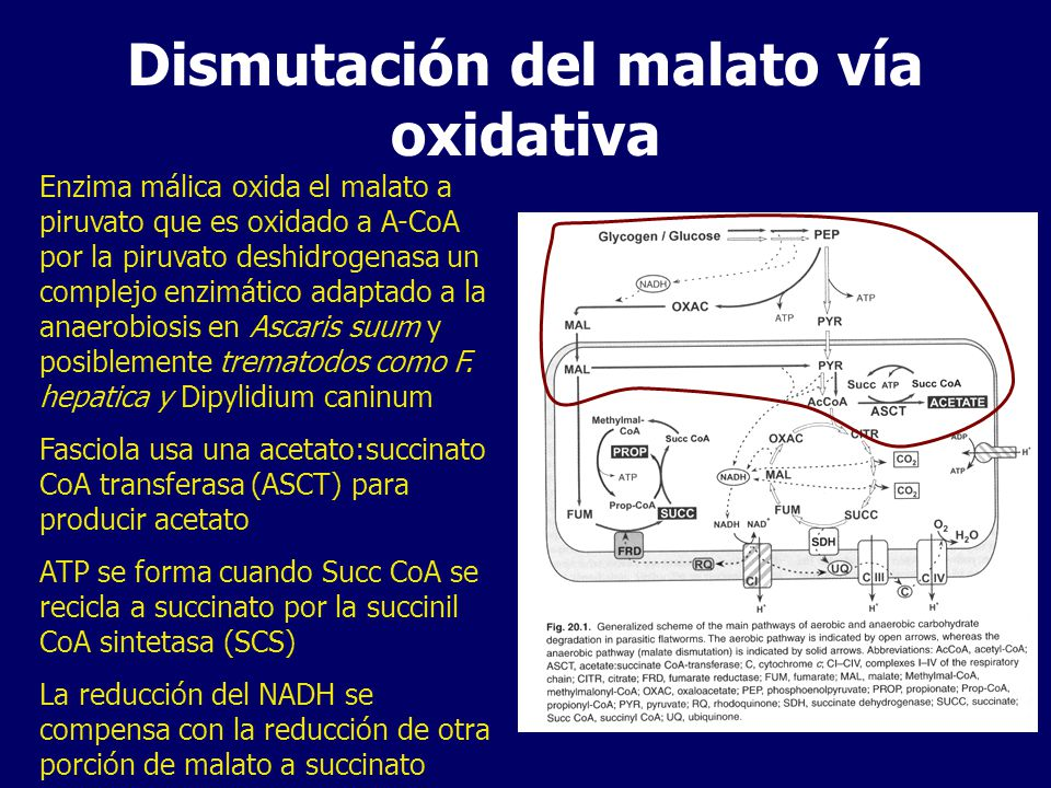 Dismutación del malato vía oxidativa