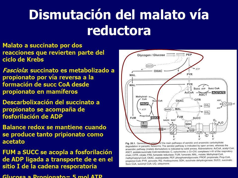Dismutación del malato vía reductora