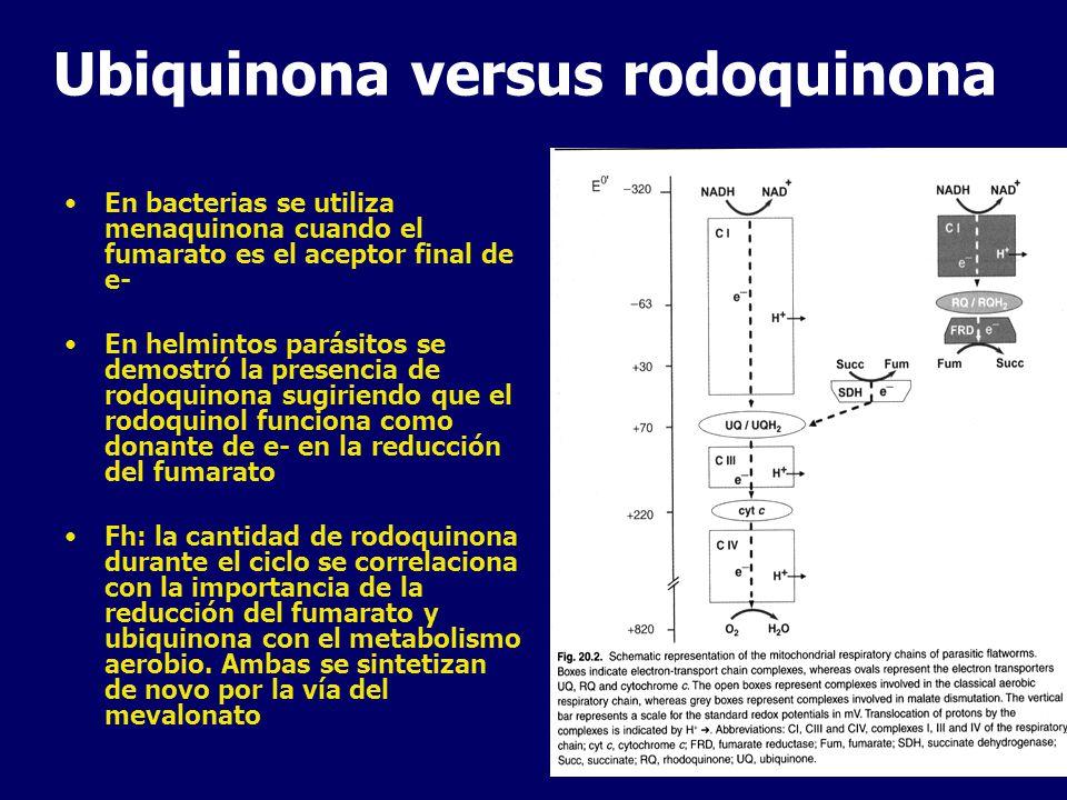 Ubiquinona versus rodoquinona