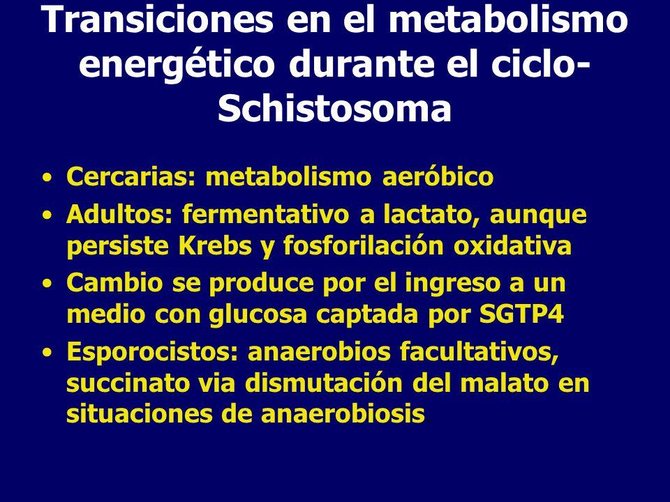 Transiciones en el metabolismo energético durante el ciclo- Schistosoma