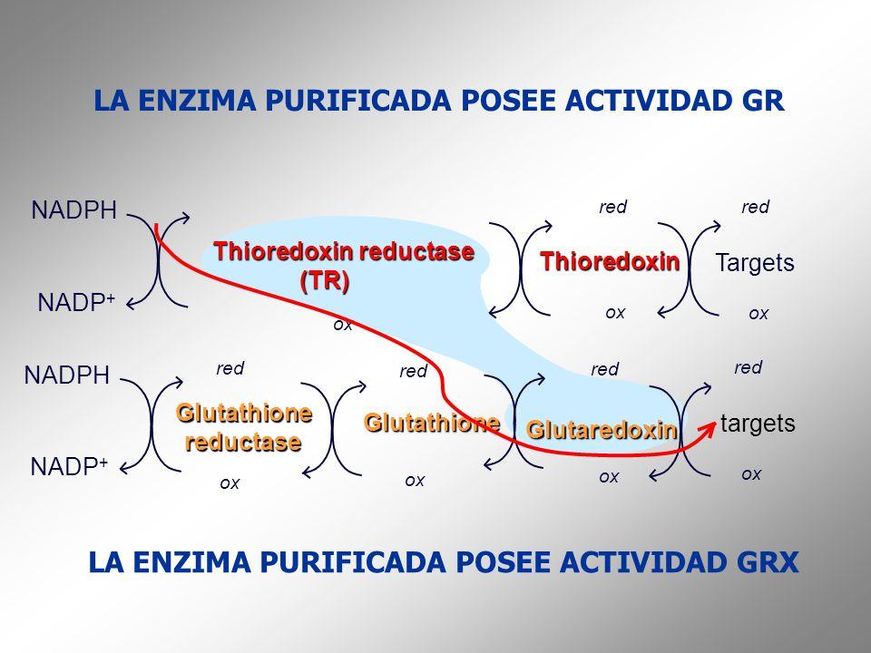 LA ENZIMA PURIFICADA POSEE ACTIVIDAD GR