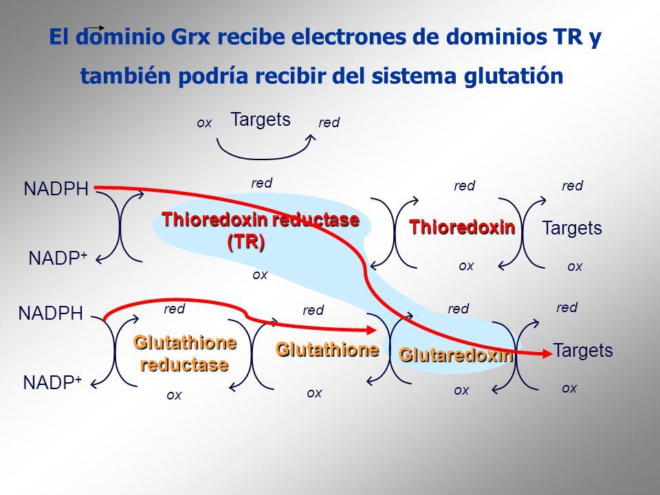 El dominio Grx recibe electrones de dominios TR y