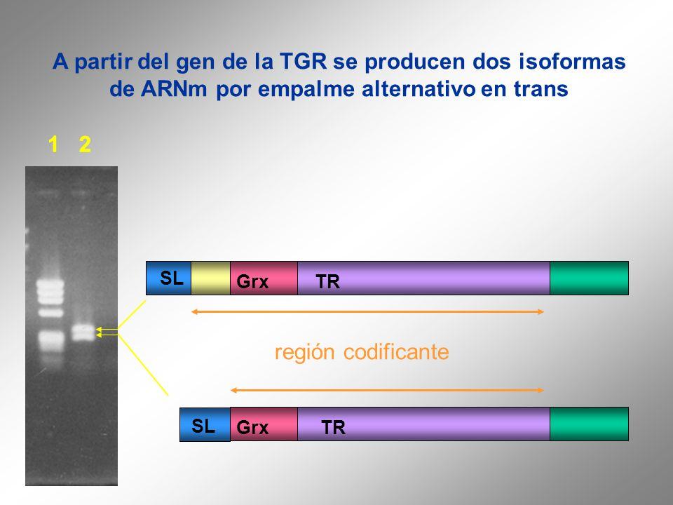 A partir del gen de la TGR se producen dos isoformas de ARNm por empalme alternativo en trans