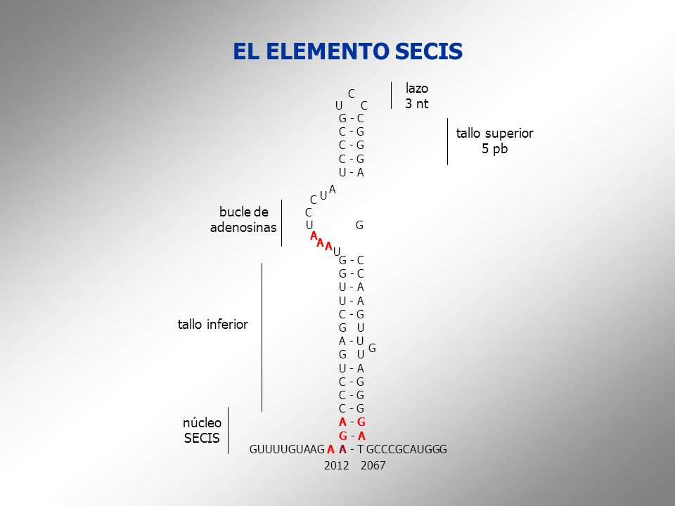 EL ELEMENTO SECIS lazo 3 nt tallo superior 5 pb bucle de adenosinas