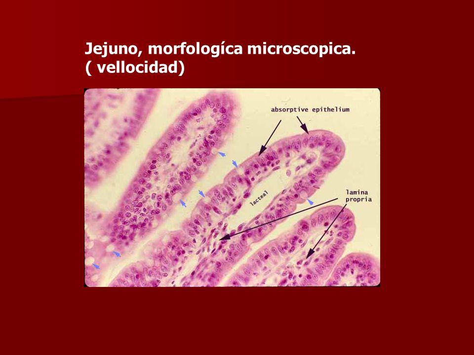 Jejuno, morfologíca microscopica.