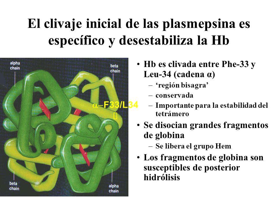 El clivaje inicial de las plasmepsina es específico y desestabiliza la Hb