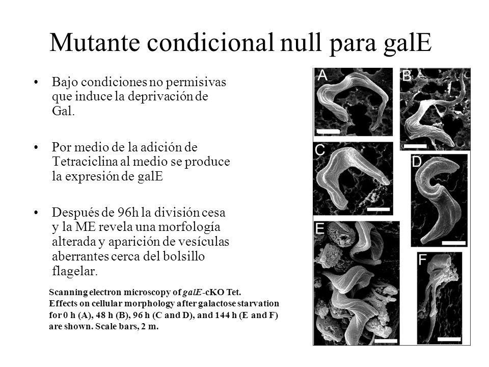 Mutante condicional null para galE