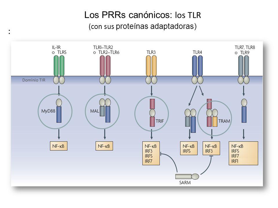 Los PRRs canónicos: los TLR