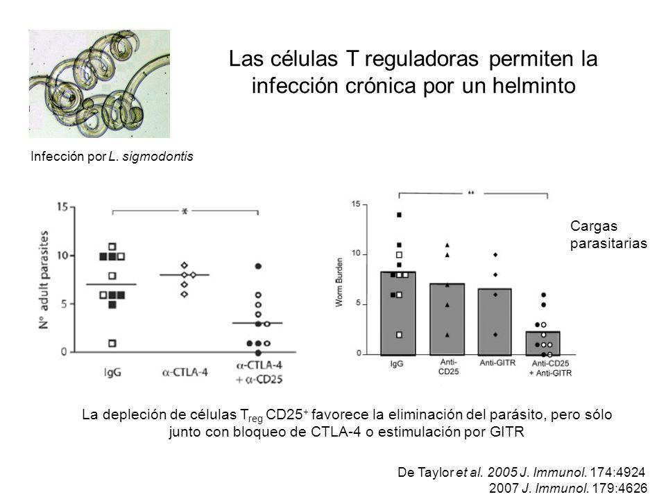 Las células T reguladoras permiten la infección crónica por un helminto