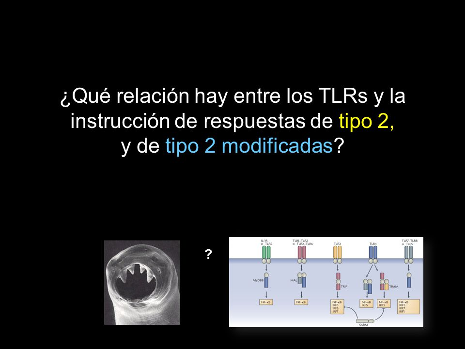 ¿Qué relación hay entre los TLRs y la instrucción de respuestas de tipo 2, y de tipo 2 modificadas
