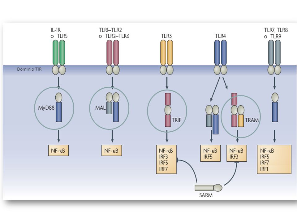 Dominio TIR Los dominios TIR reclutan proteínas adaptadoras que también poseen dominios TIR altamente conservados: