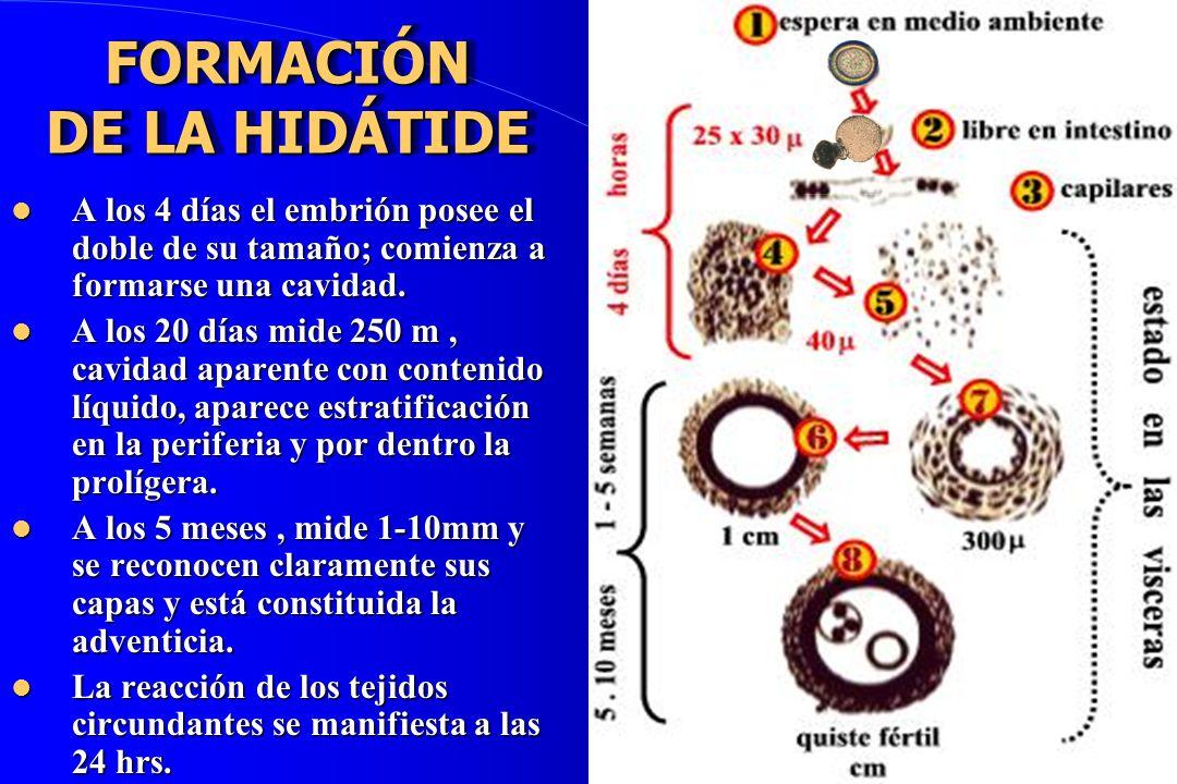 FORMACIÓN DE LA HIDÁTIDE