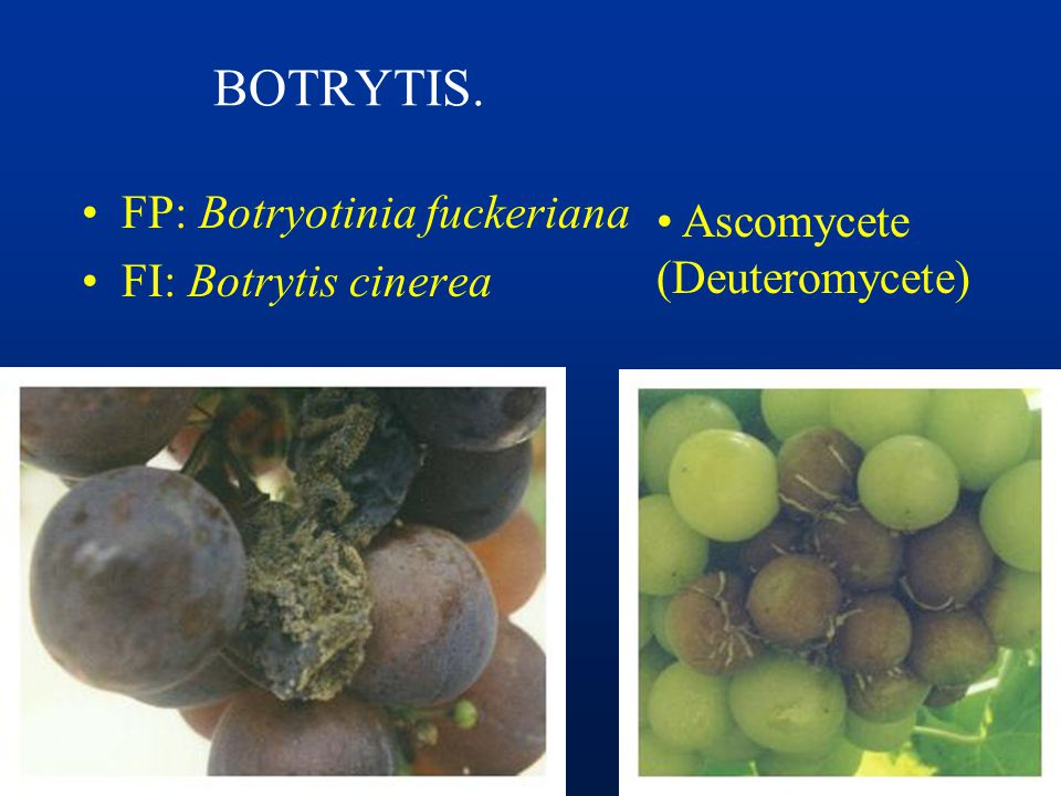 BOTRYTIS. FP: Botryotinia fuckeriana Ascomycete FI: Botrytis cinerea