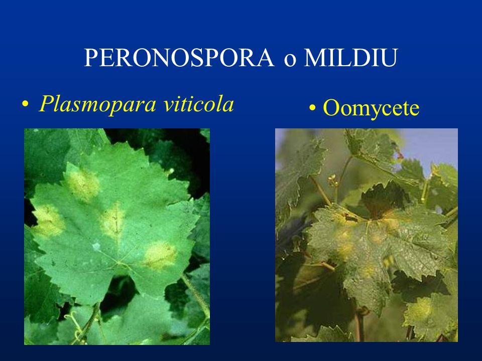 PERONOSPORA o MILDIU Plasmopara viticola Oomycete