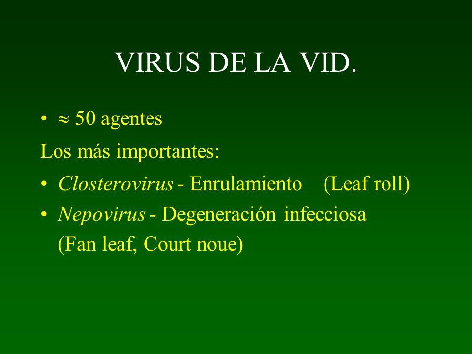 VIRUS DE LA VID.  50 agentes Los más importantes: