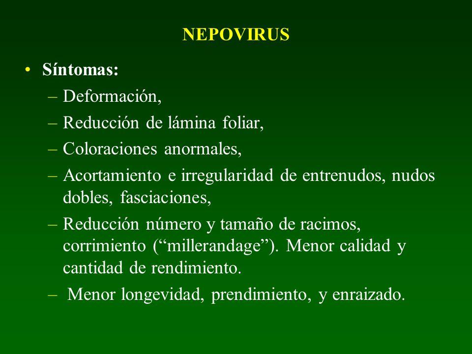 NEPOVIRUS Síntomas: Deformación, Reducción de lámina foliar, Coloraciones anormales,