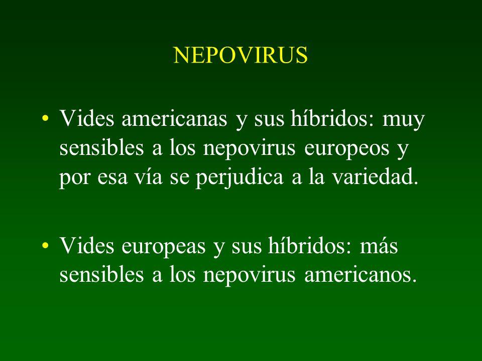 NEPOVIRUS Vides americanas y sus híbridos: muy sensibles a los nepovirus europeos y por esa vía se perjudica a la variedad.