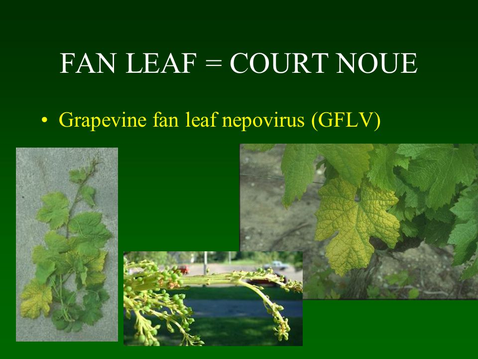 FAN LEAF = COURT NOUE Grapevine fan leaf nepovirus (GFLV)