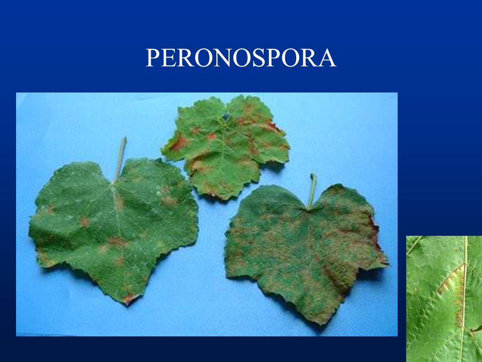 PERONOSPORA