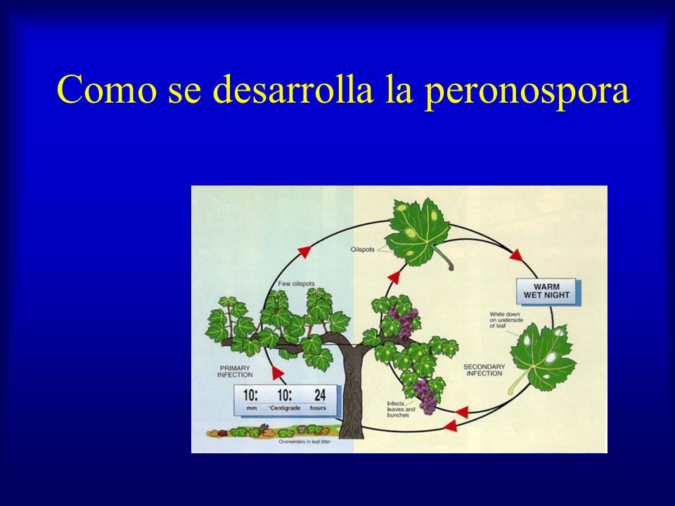 Como se desarrolla la peronospora