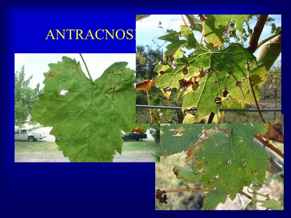 ANTRACNOSIS