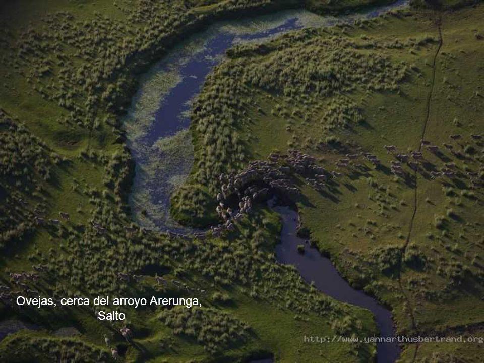Ovejas, cerca del arroyo Arerunga,