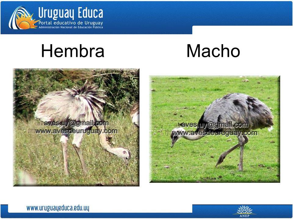 Hembra Macho