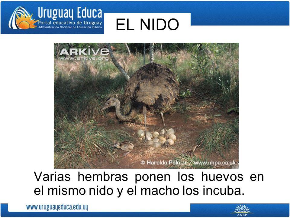 EL NIDO Varias hembras ponen los huevos en el mismo nido y el macho los incuba.
