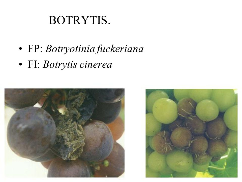 BOTRYTIS. FP: Botryotinia fuckeriana FI: Botrytis cinerea