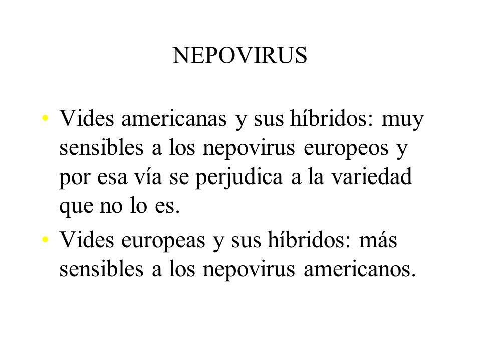NEPOVIRUS Vides americanas y sus híbridos: muy sensibles a los nepovirus europeos y por esa vía se perjudica a la variedad que no lo es.
