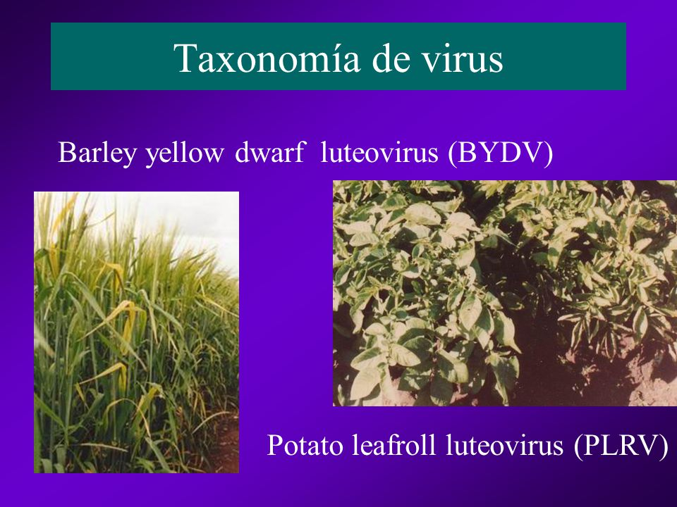 Taxonomía de virus Barley yellow dwarf luteovirus (BYDV)
