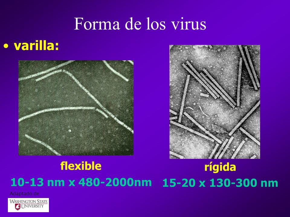 Forma de los virus varilla: flexible rígida 10-13 nm x 480-2000nm