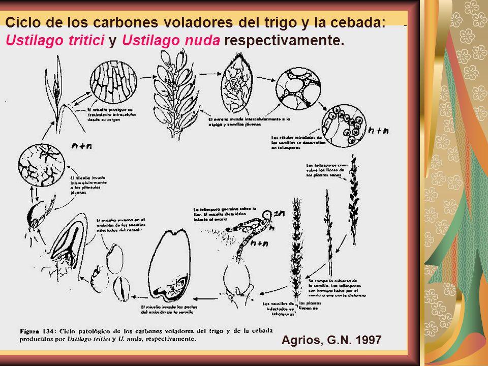 Ciclo de los carbones voladores del trigo y la cebada: