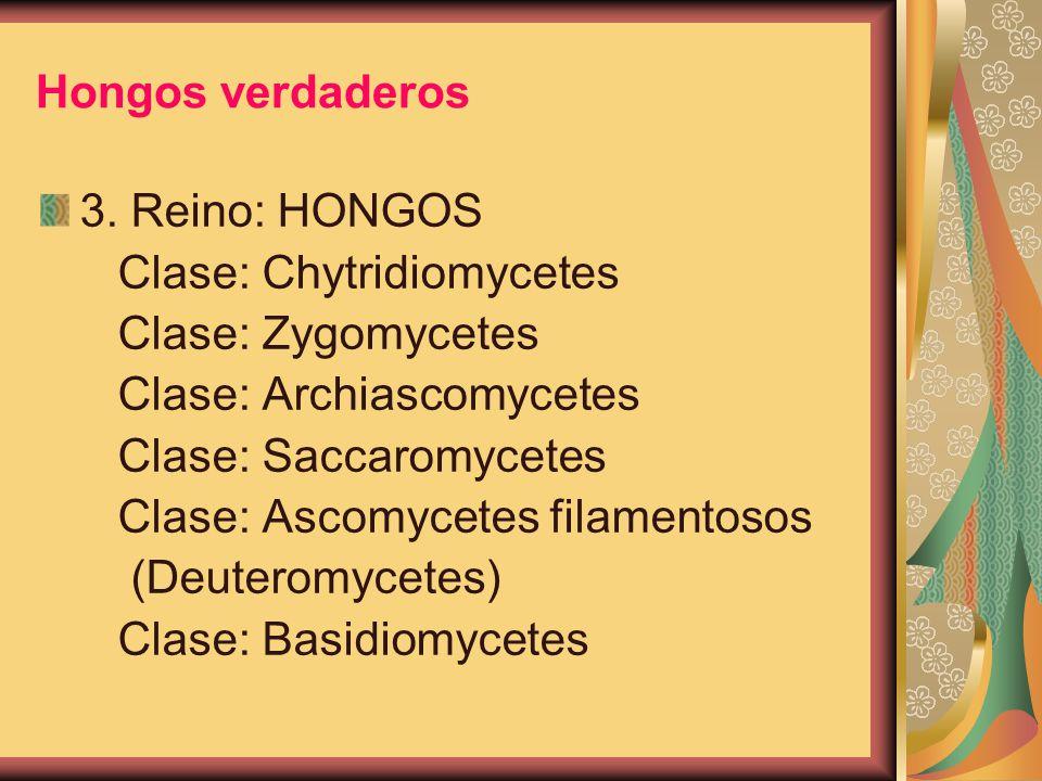 Hongos verdaderos 3. Reino: HONGOS. Clase: Chytridiomycetes. Clase: Zygomycetes. Clase: Archiascomycetes.