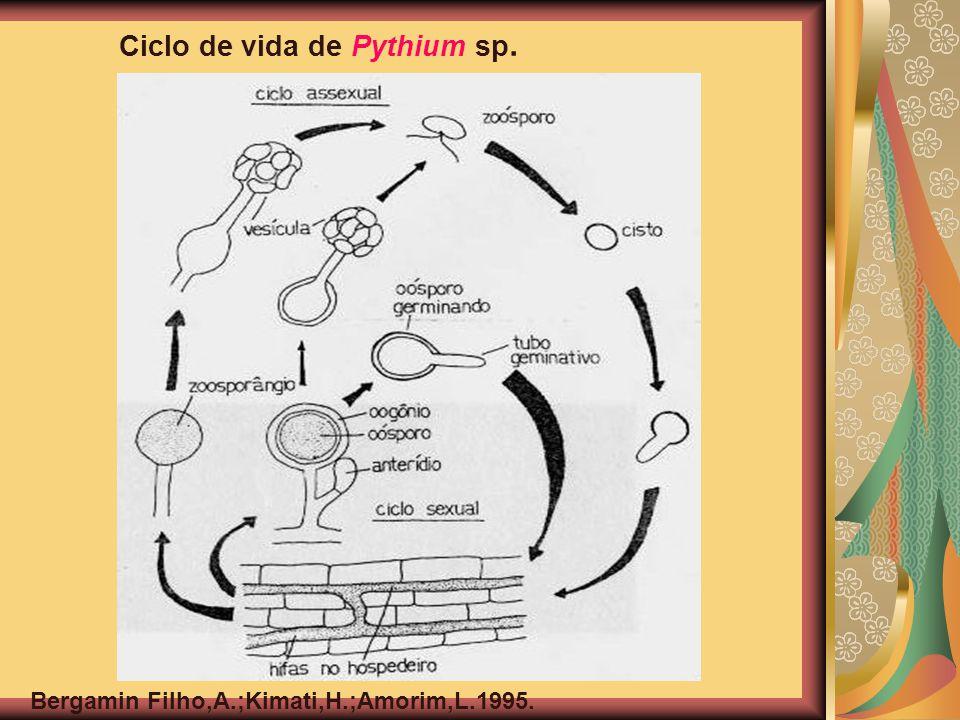 Ciclo de vida de Pythium sp.