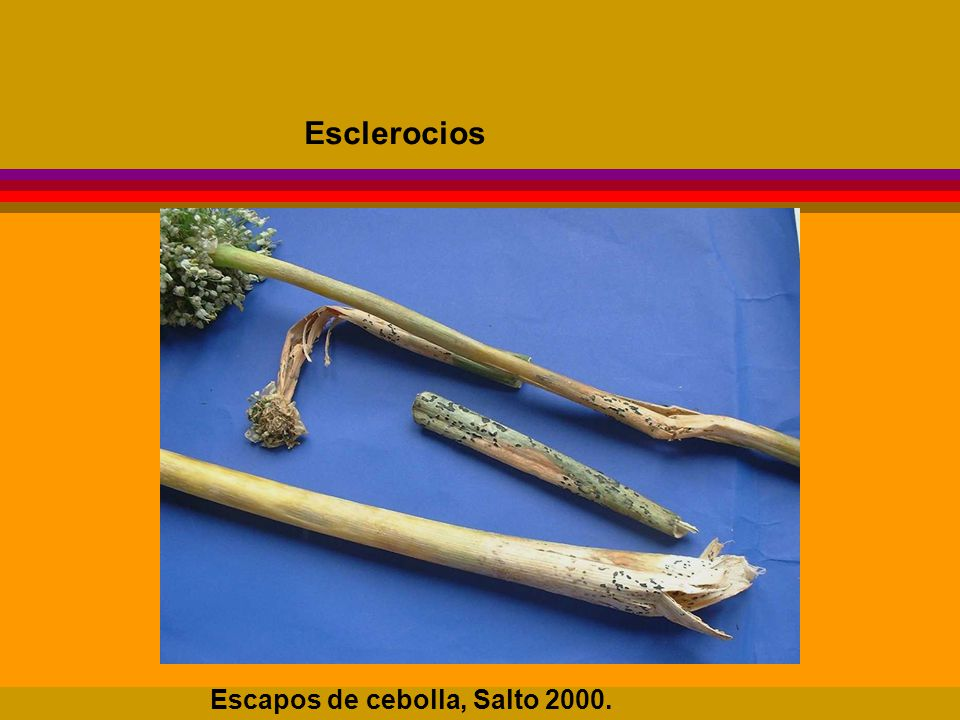 Esclerocios Escapos de cebolla, Salto 2000.
