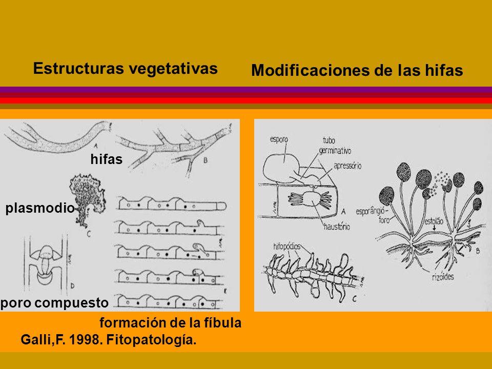 Estructuras vegetativas Modificaciones de las hifas